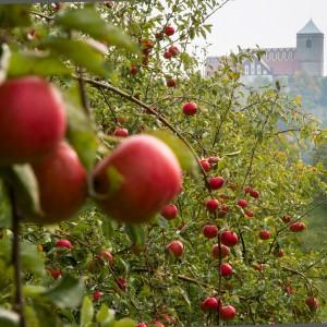 Regionale Produkte: Rote Äpfel am Baum, Schloss Kożuchów (Freystadt)
